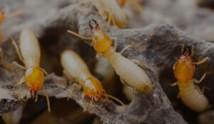 termites and pests in Melbourne homes
